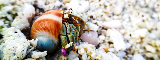 hermit crab essays